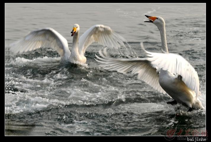 两只天鹅爱的世界图片