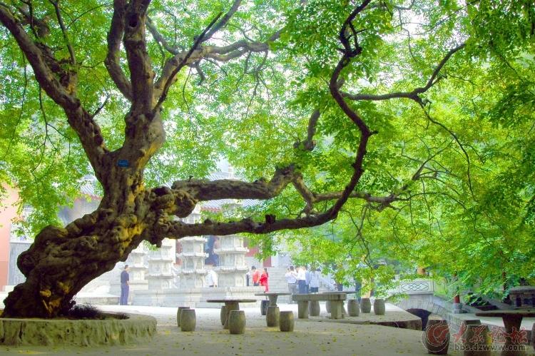 非洲小叶子檀树