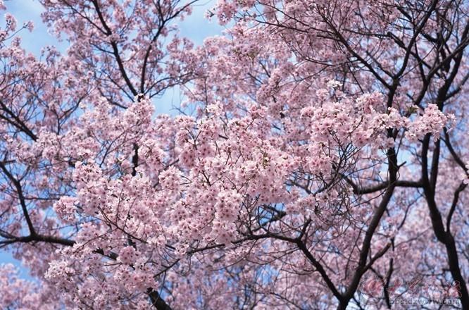 中山公园樱花节是每年青岛的第一个节会,青岛樱花节的开花期从