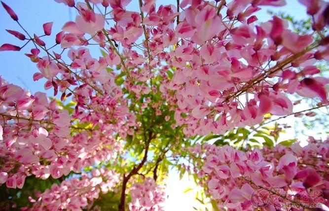 中山公园樱花节是每年青岛的第一个节会