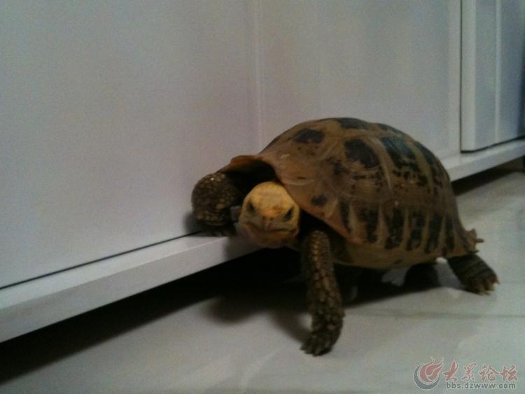 转让自家养的宠物龟一枚