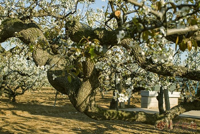 莱阳老梨树开花啦