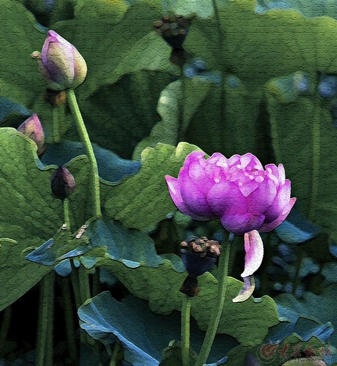 荷花的花原基着生于藕带处芽内,幼叶基部的背面;花单生,两性;萼片4~5