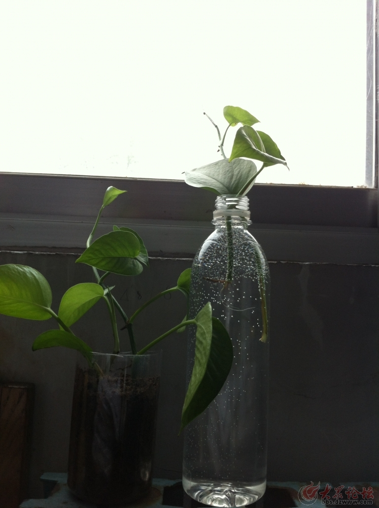 养绿萝出现茎叶发黑腐烂的状况这样处理,轻松得到新的图片