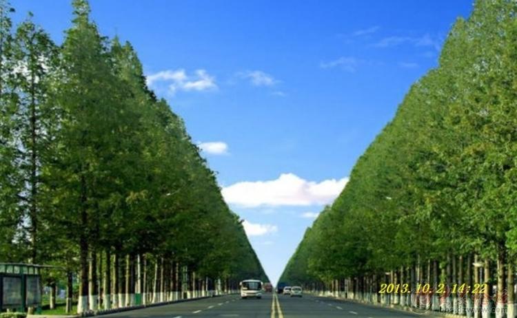 """邳州市的""""市树""""是水杉树,邳苍路80华里水杉林带被海内外誉为"""