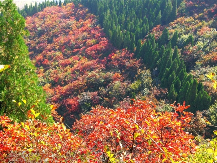 小红叶风景树图片
