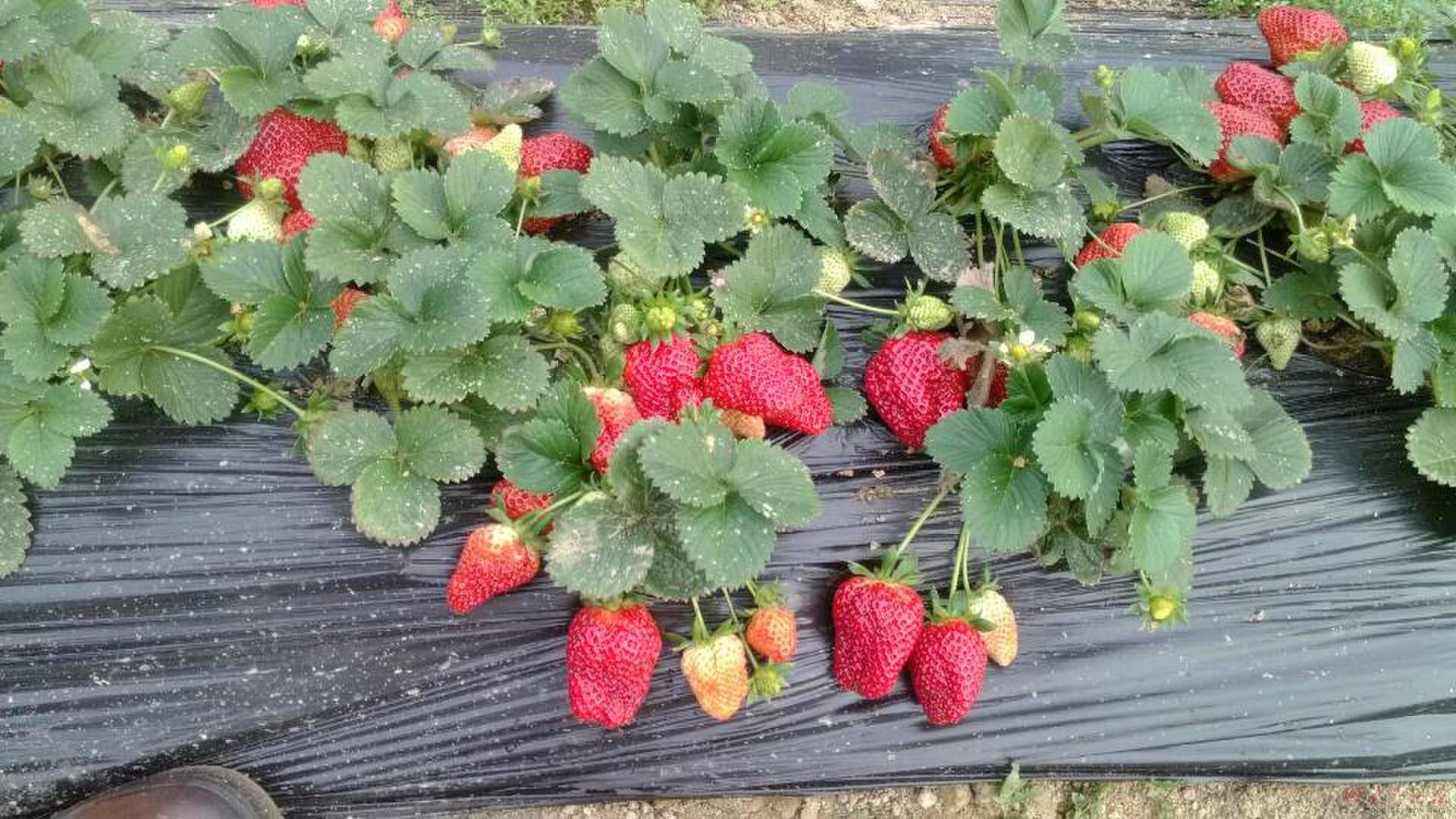 一年级叙事作文:摘草莓图片
