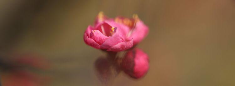 春天第一朵玫瑰