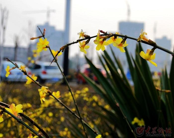 春天到来.迎春花开.