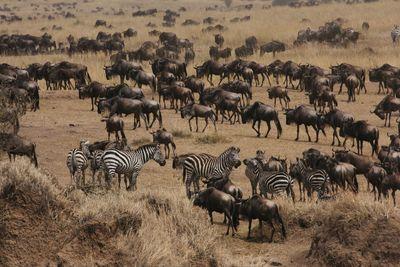 7-8月 肯尼亚动物大迁徙全国集结中!