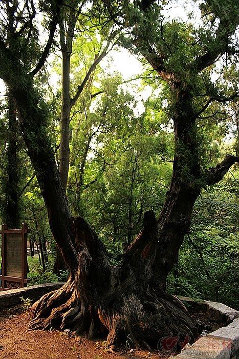 位于济南五峰山景区内的一大景观,五股穿心柏一一此树桩之上生出五股