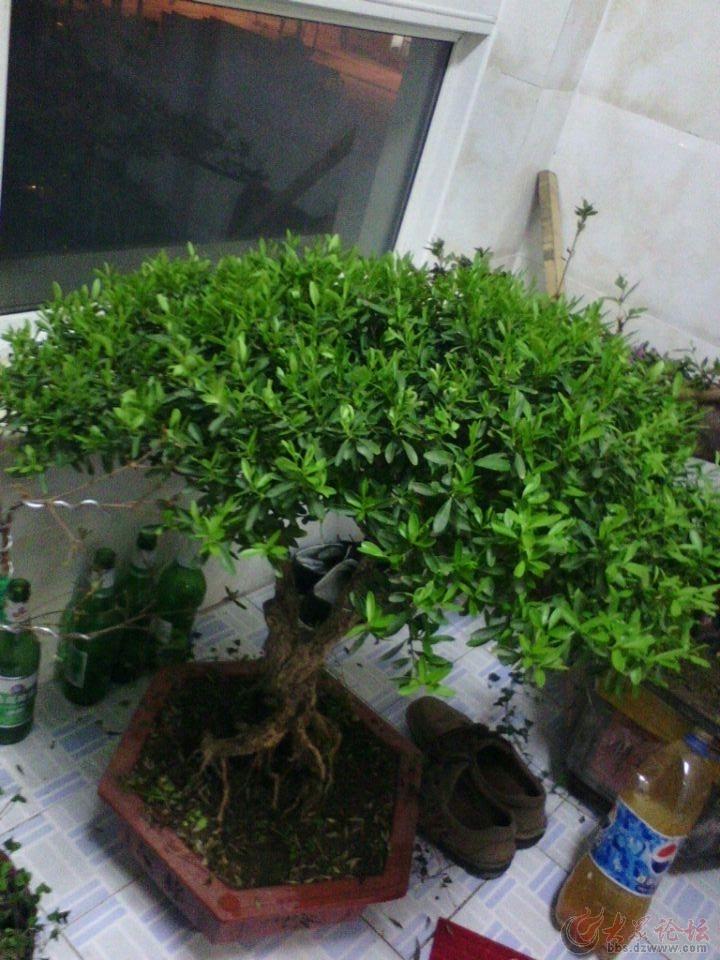 黄杨盆景图片图片