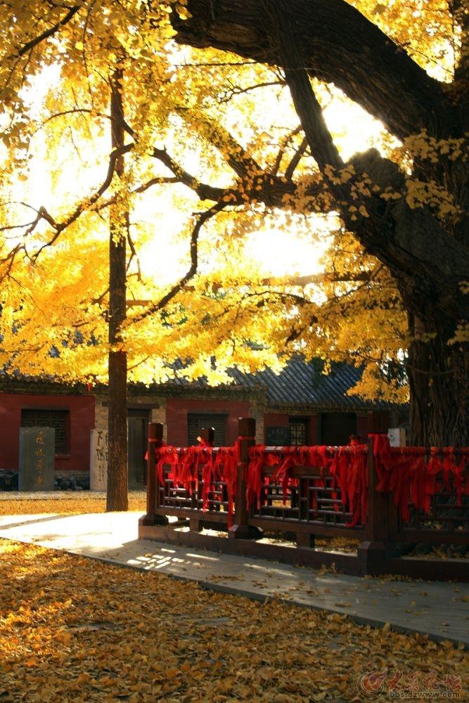 浮来山风景区赏千年银杏树