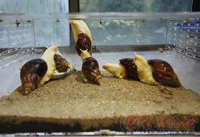 学校科学实验课,白玉蜗牛的饲养注意事项