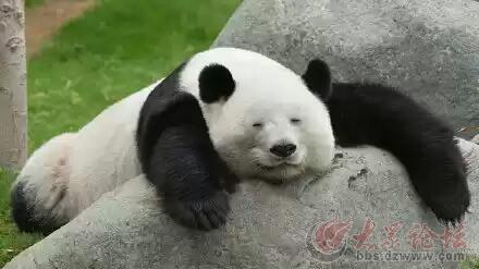 如果熊猫没有黑眼圈
