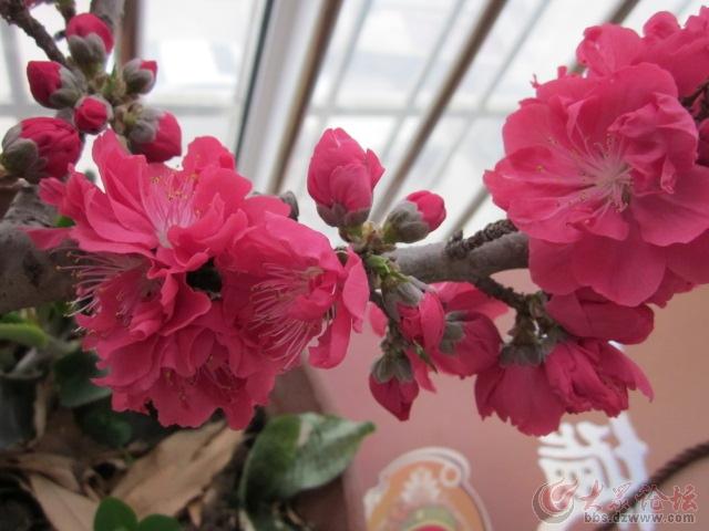 苦菜花请教:阳台里盆栽的桃树,需要授粉吗?