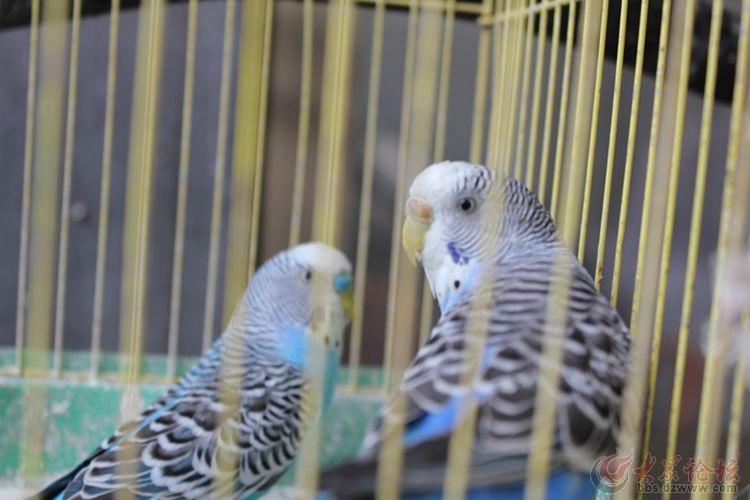 可爱 的笼中小鸟