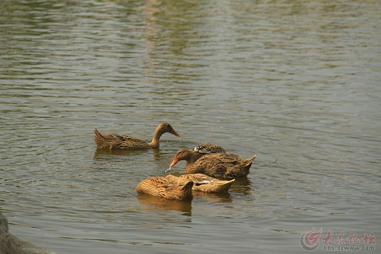 鸭子水中游