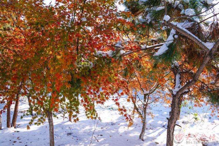 傲雪枫树更娇艳