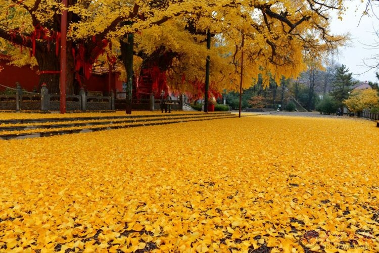 银杏树3.jpg