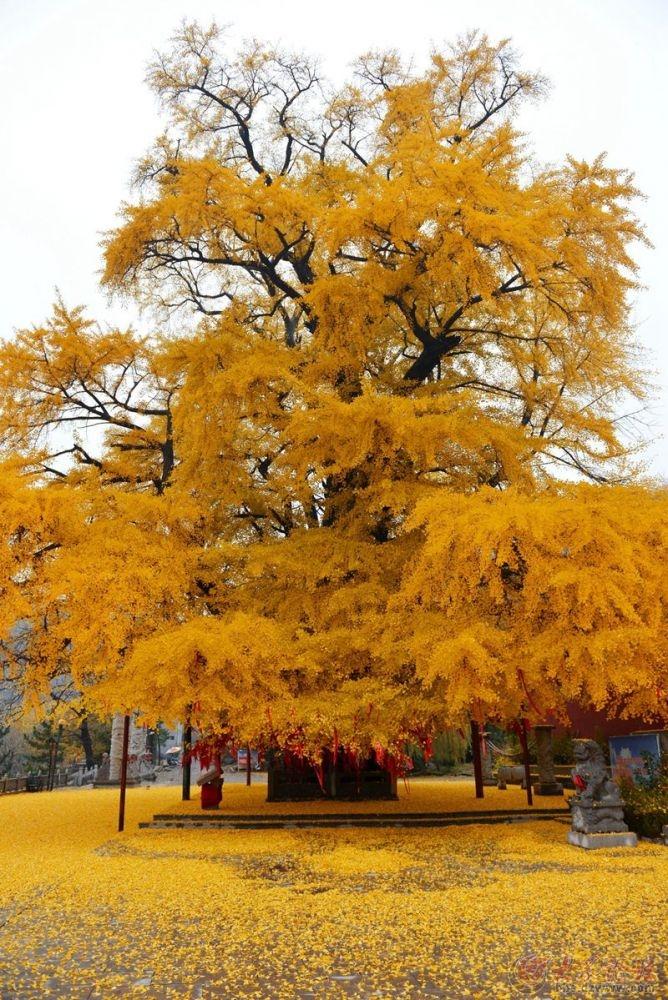 银杏树5.jpg
