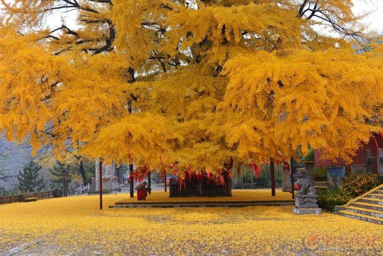 银杏树11.jpg