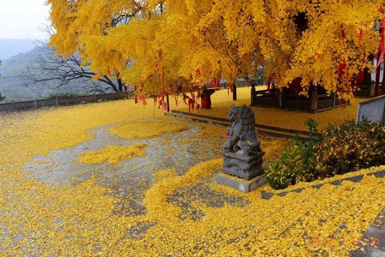 银杏树12.jpg
