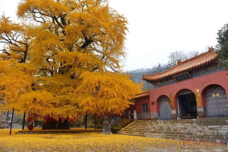 银杏树13.jpg