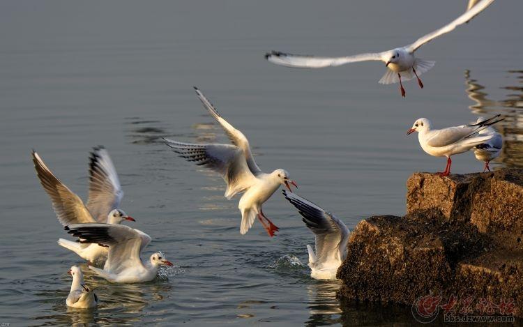 日照海边海鸥飞