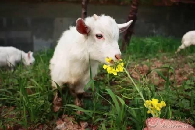 现场下订单的顾客,可亲子动手喂可爱的小山羊, 还可以和它合影哦!