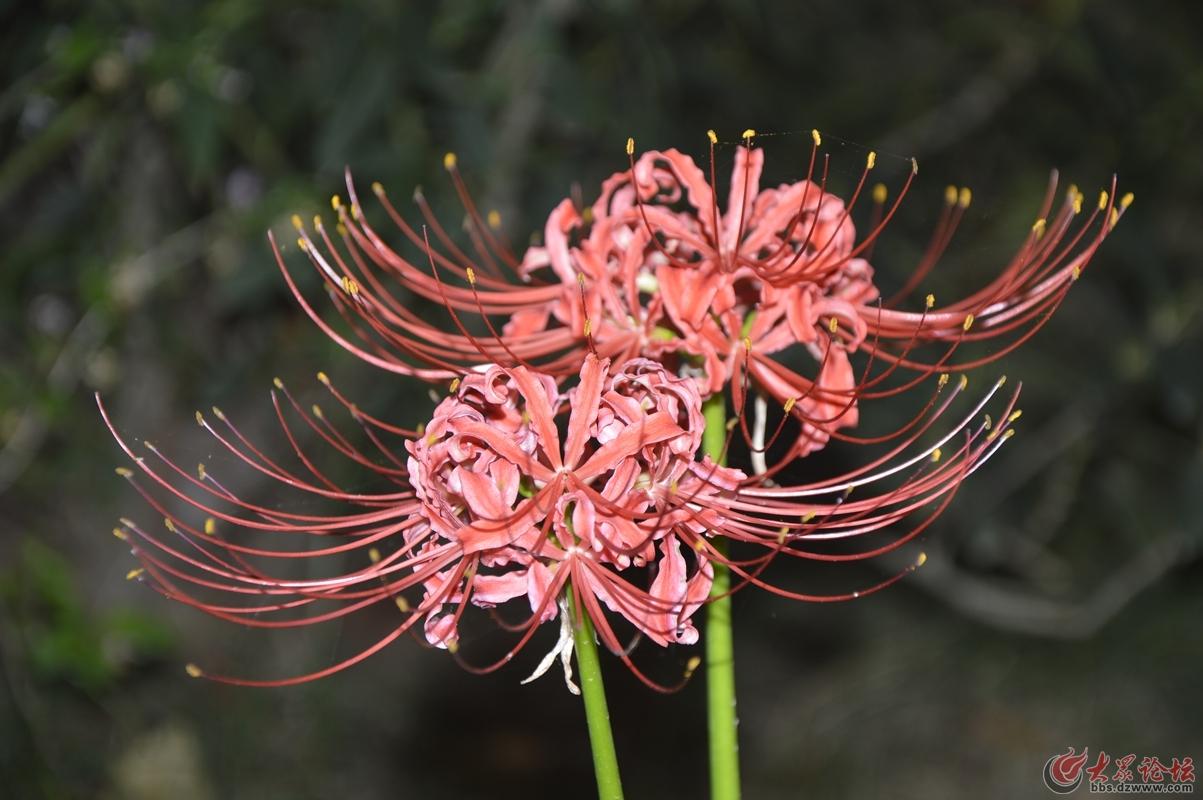 彼岸花 中国花语 优美的纯洁 代表美丽 动人
