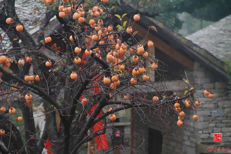 一片片的柿树硕果满枝头,满树红柿玲珑,在劲风秋雨中飘摇出独特秋景