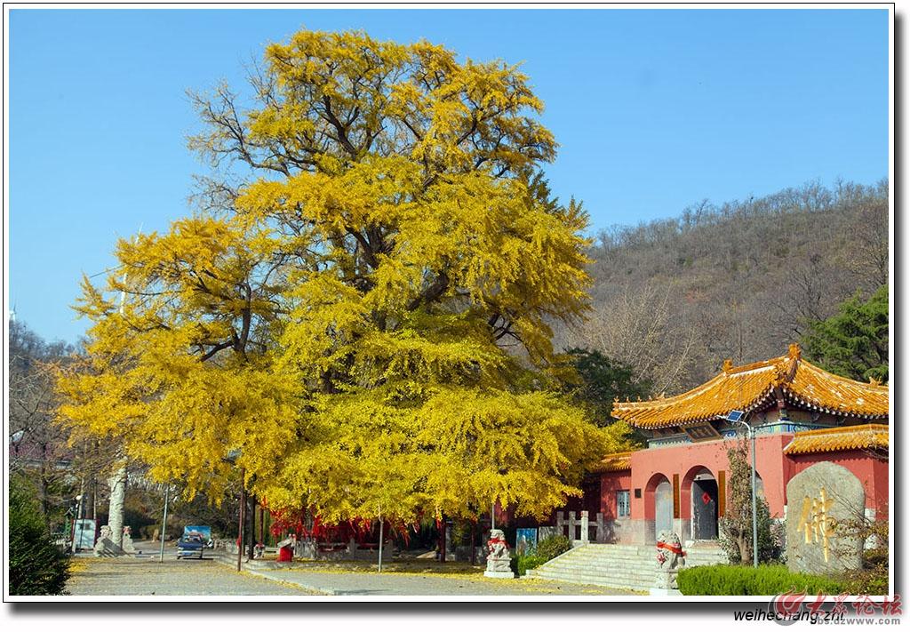 书院白果树.jpg