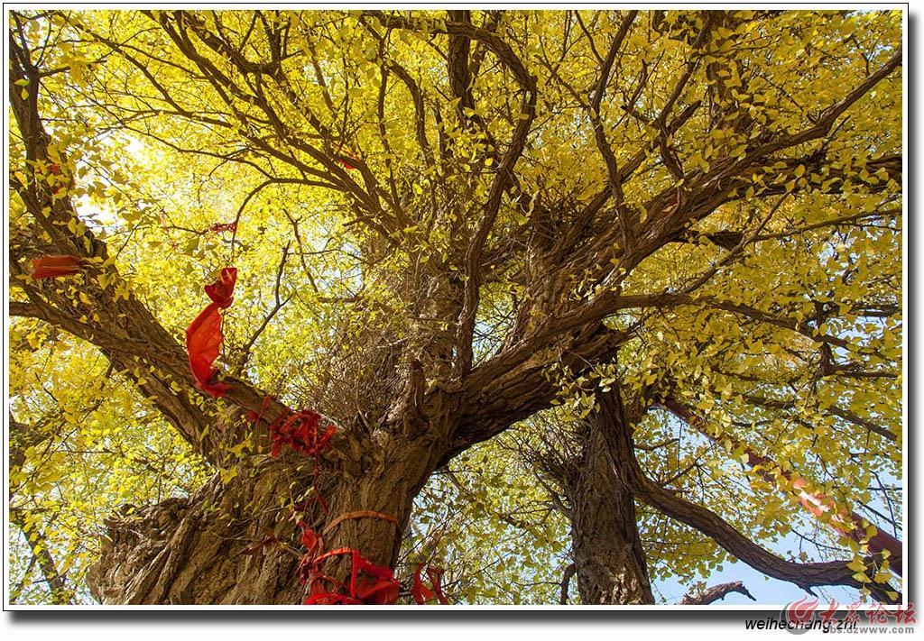 书院白果树4.jpg
