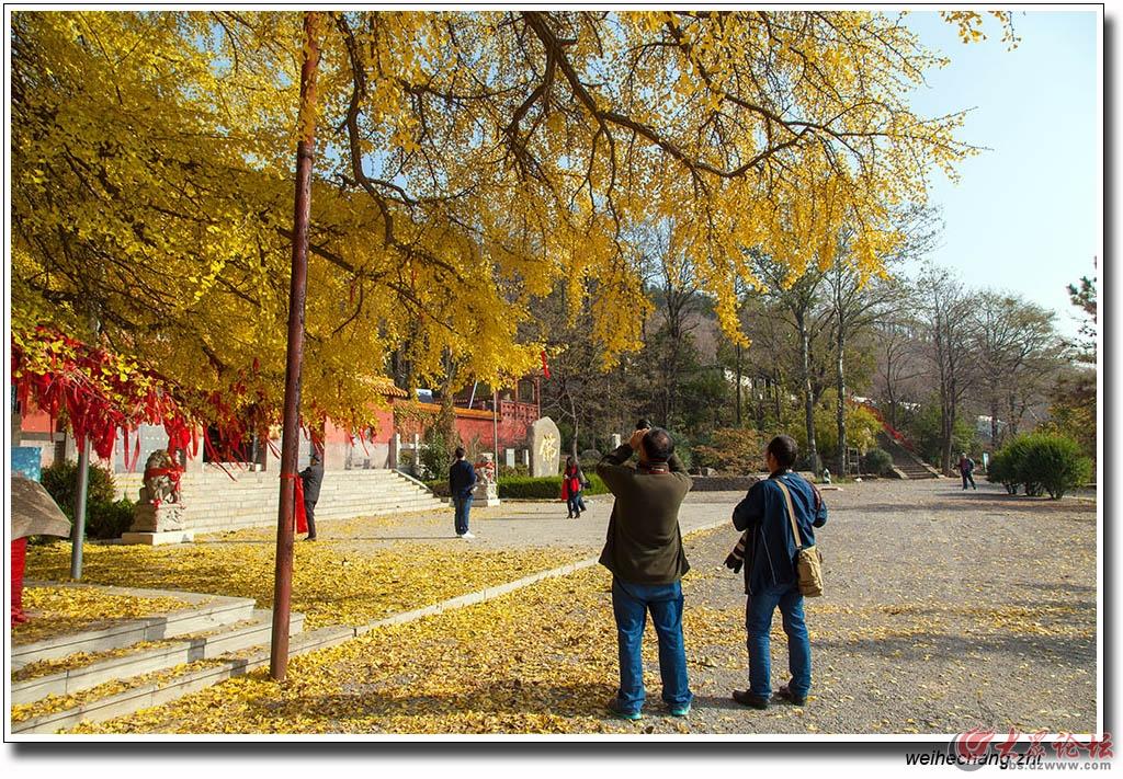 书院白果树11.jpg