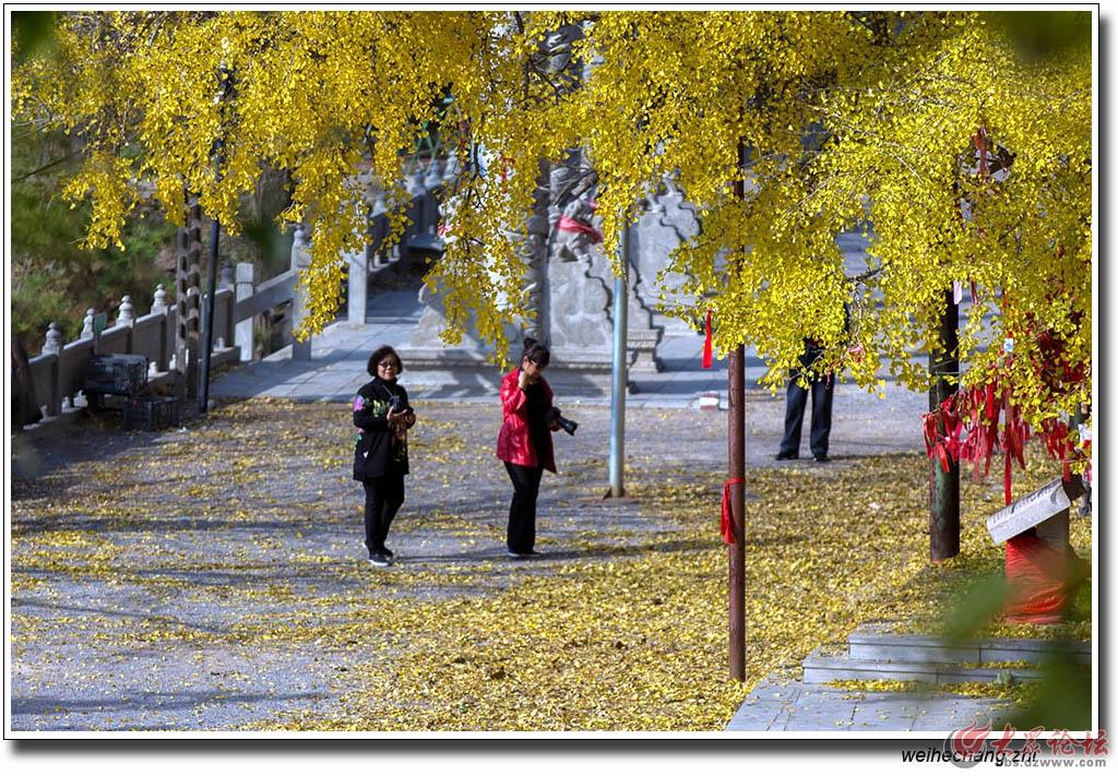 书院白果树17.jpg