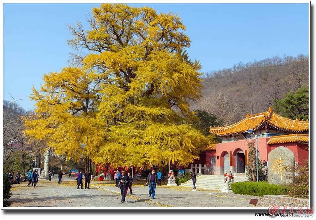 书院白果树21.jpg