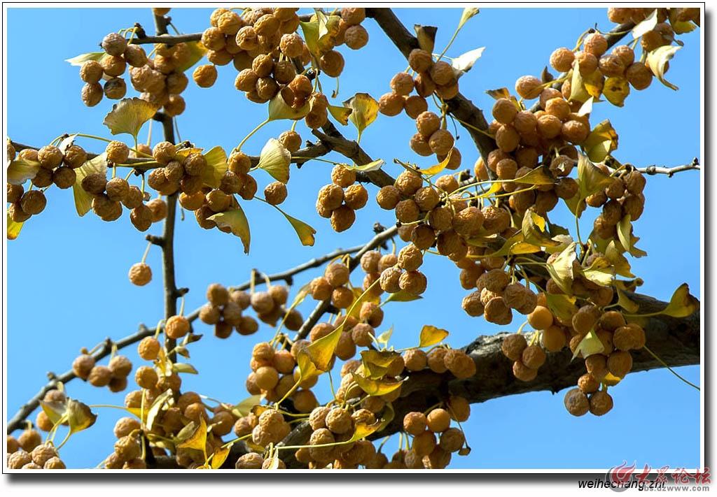 书院白果树25.jpg