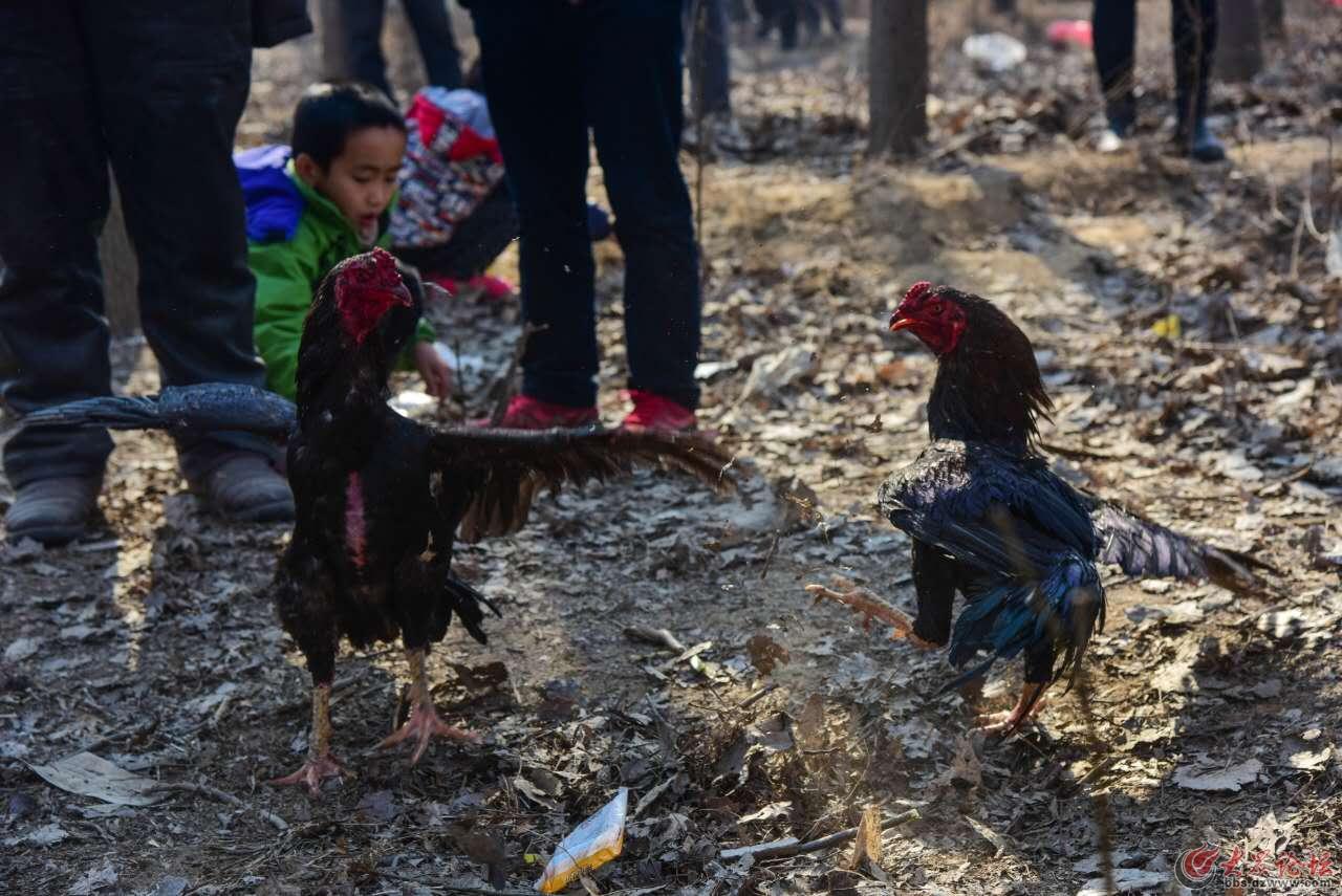 鲁西斗鸡母鸡中的战斗机晋城斗鸡种公鸡图片图片