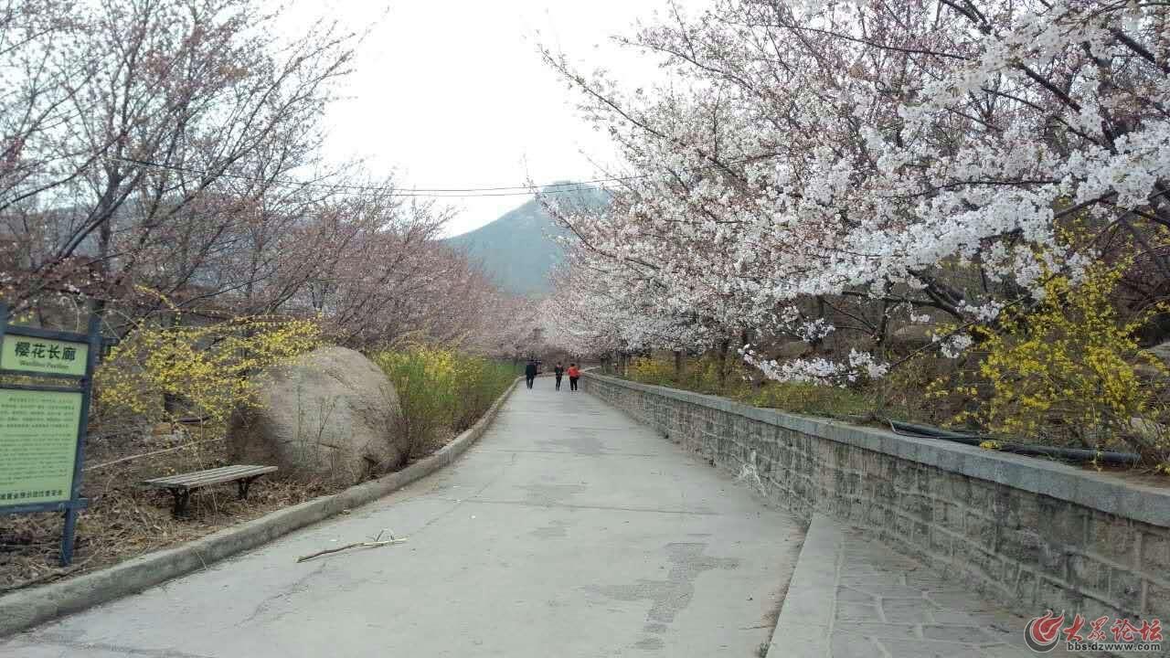 樱花十里长廊
