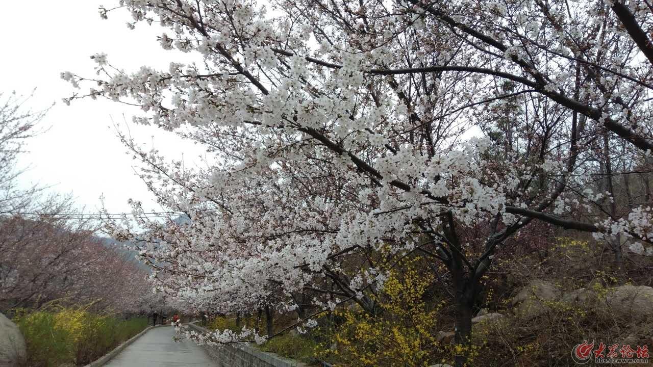 樱花4.jpg