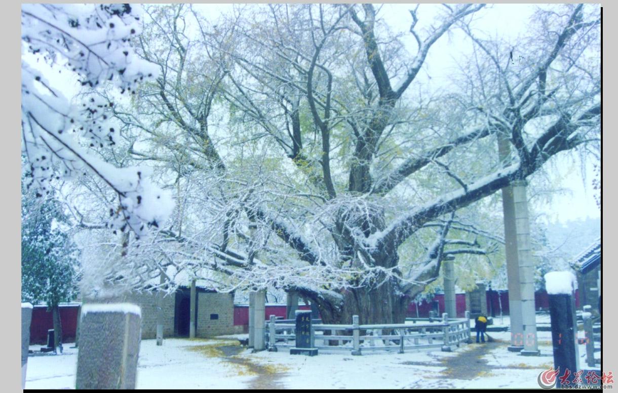 银杏树冬1.jpg