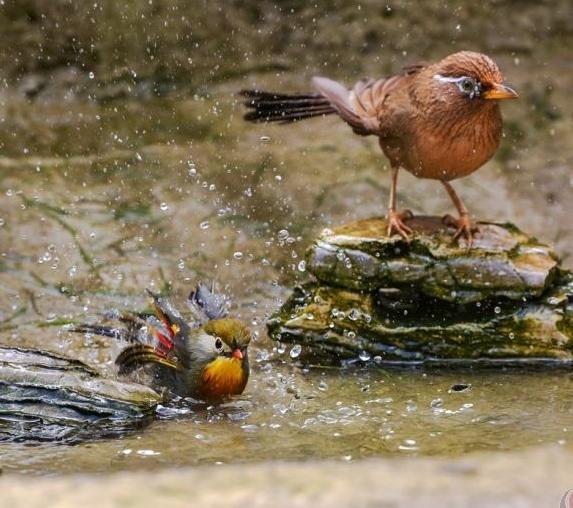 相思鸟洗澡